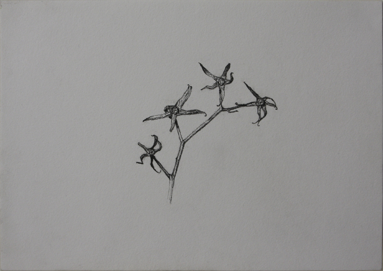 A Dried Tomato Plant  (Charcoal Pencil on Paper, 296mm x 210mm, 2007)