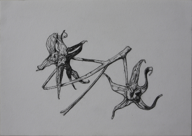 Second Dried Tomato Plant (Charcoal Pencil on Paper, 296mm x 210mm, 2007)